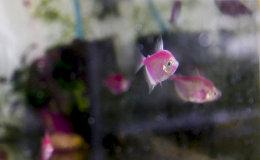 Аквариумист Ваан Акопян разводит рыб прямо в квартире