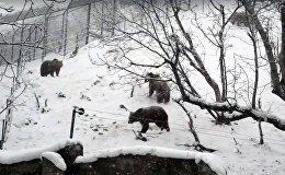 Медведи в Ереванском зоопарке радуются снегу