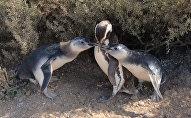 Магеллановы пингвины в Пунта Томбо