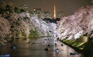 Полное цветение сакуры в Токио