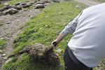 Хозяин барашка уносит погибших овец с дороги