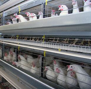 Птицы на фабрике