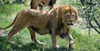 Выпуск львов в крымском сафари-парке Тайган