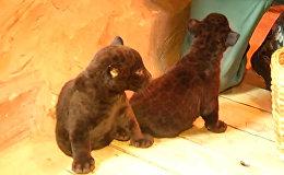 СПУТНИК_Первое появление на публике детенышей черного ягуара из зоопарка Лимпопо