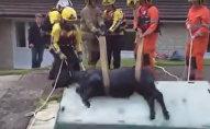 Спасатели вытащили корову из деревенского бассейна
