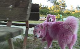 Найденные в лесу под Геленджиком розовые собаки играли и ластились после спасения
