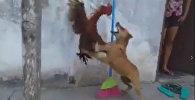 Бой собаки и петуха