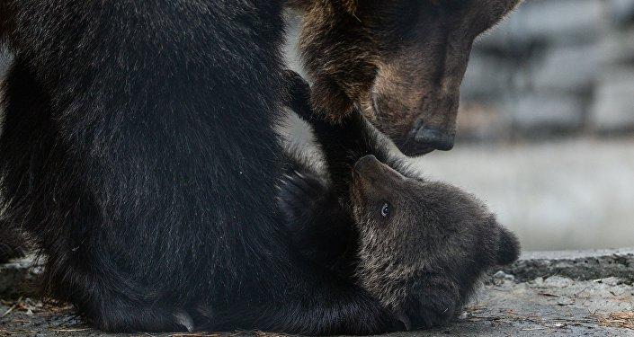 Бурая медведица с медвежонком