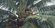 Виртуозы Таиланда: мастер-класс по сбору кокосов