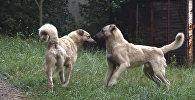 В дохристианской Армении существовал культ собак-близнецов.